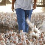 قیمت مرغ سر به آسمان کشید!/ مرغ در اورمیه کمیاب شد